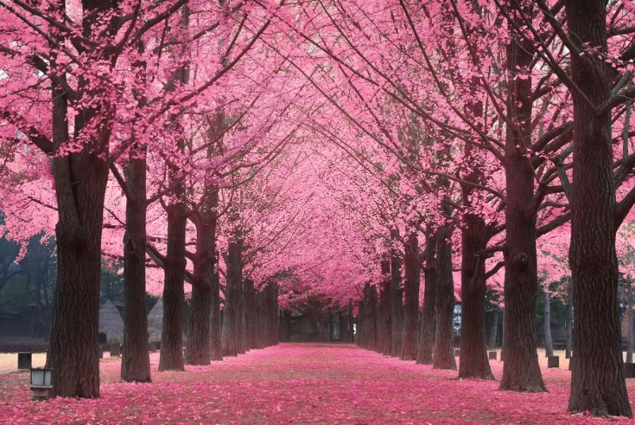 nami island cherry blossom