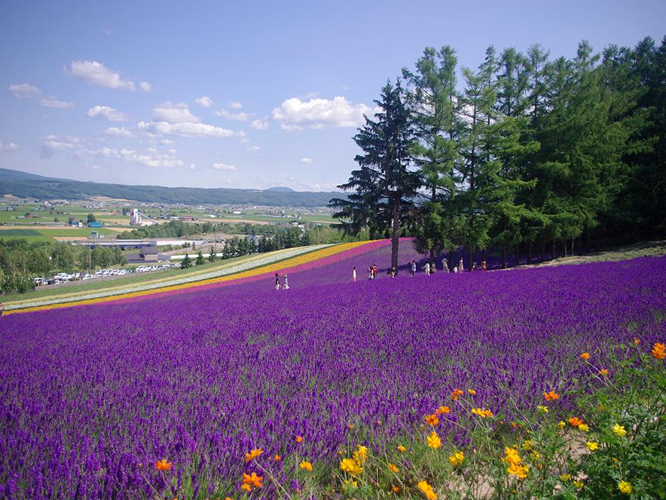 How-To-Use-Your-Japan-Rail-Pass-Hokkaido-lavender-field