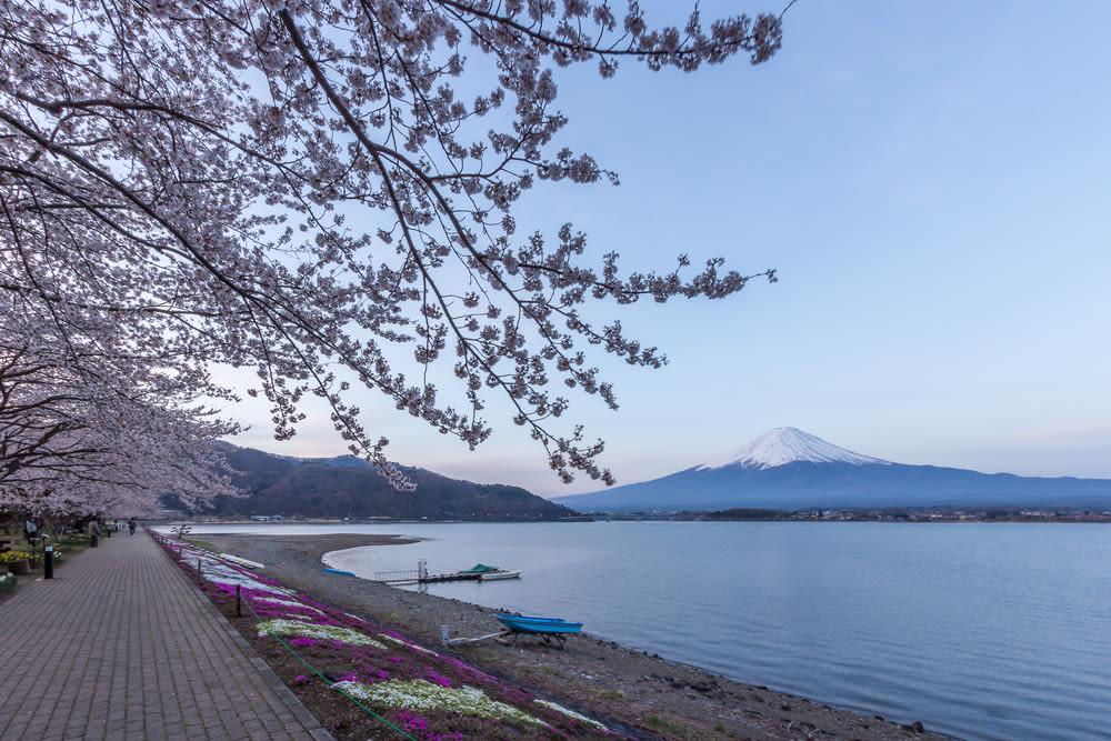 Lake Kawaguchi Cherry Blossom