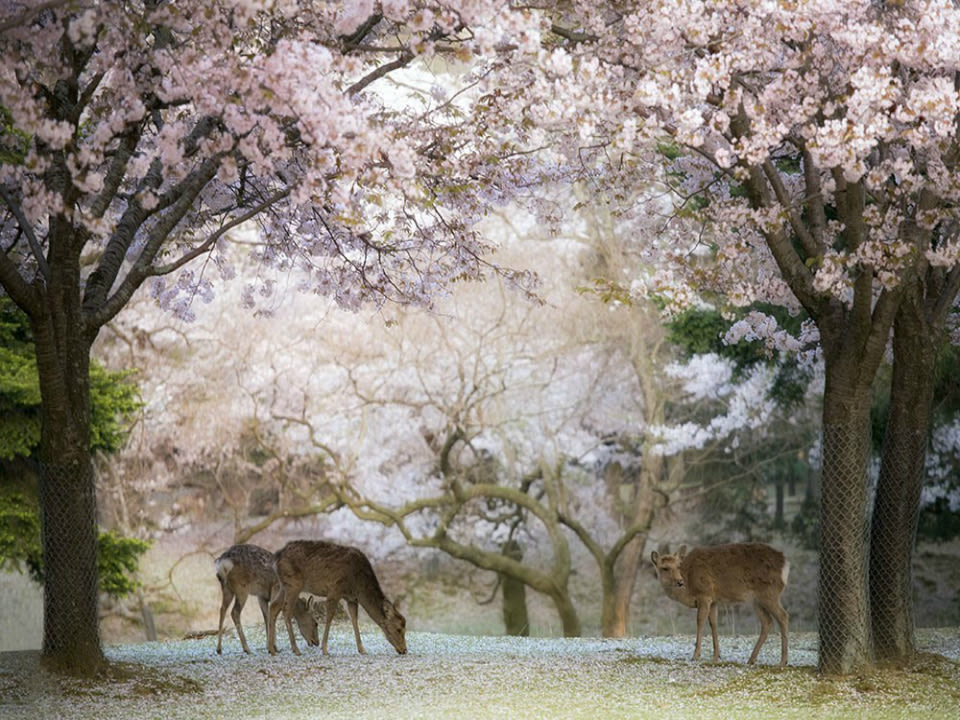 Nara Deer Park with cherry blossoms