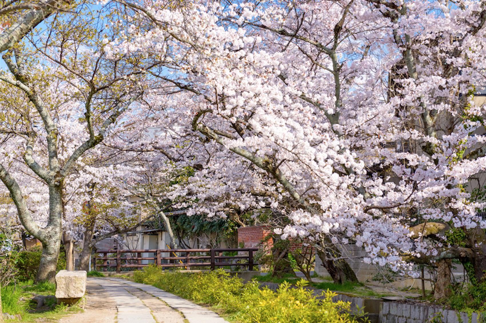 Kyoto Cherry Blossom