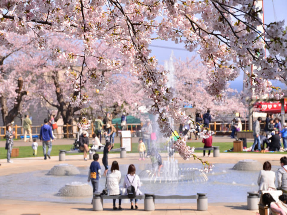 Hakodate Park during cherry blossom season
