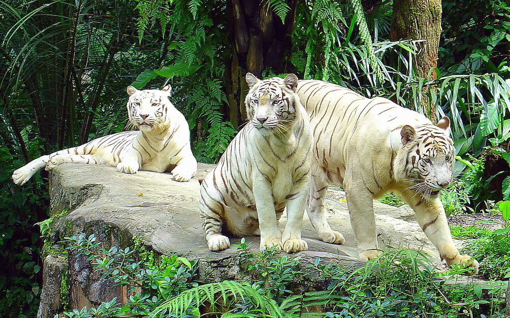 singapore-zoo-white-tigers