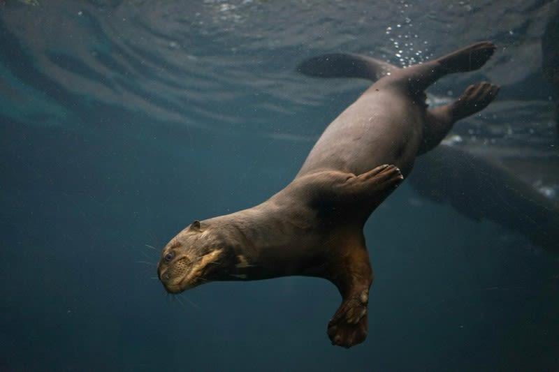 Giant Otter 1