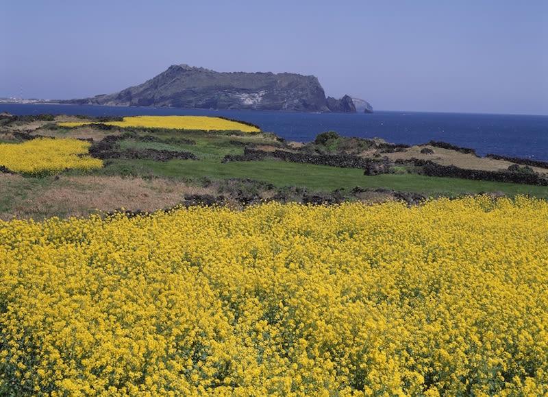Jeju Island Rapeseed