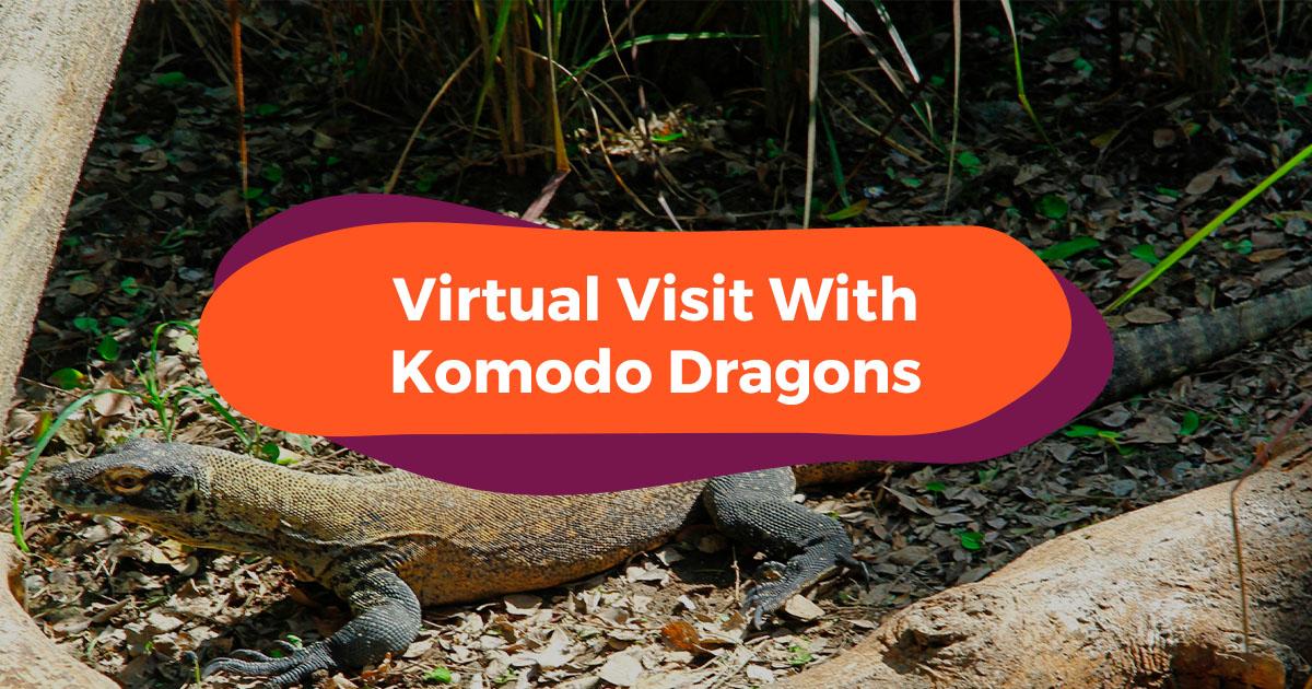 Klook Presents Bali Safari - Home Of 8 Adorable Komodo Dragons