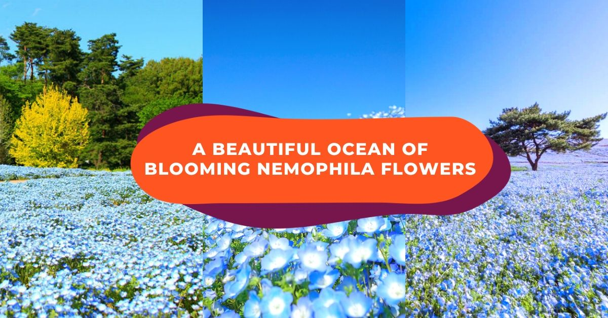 Magical Sights With Over 5 Million Tiny Flowers Blooming at Hitachi Seaside Park