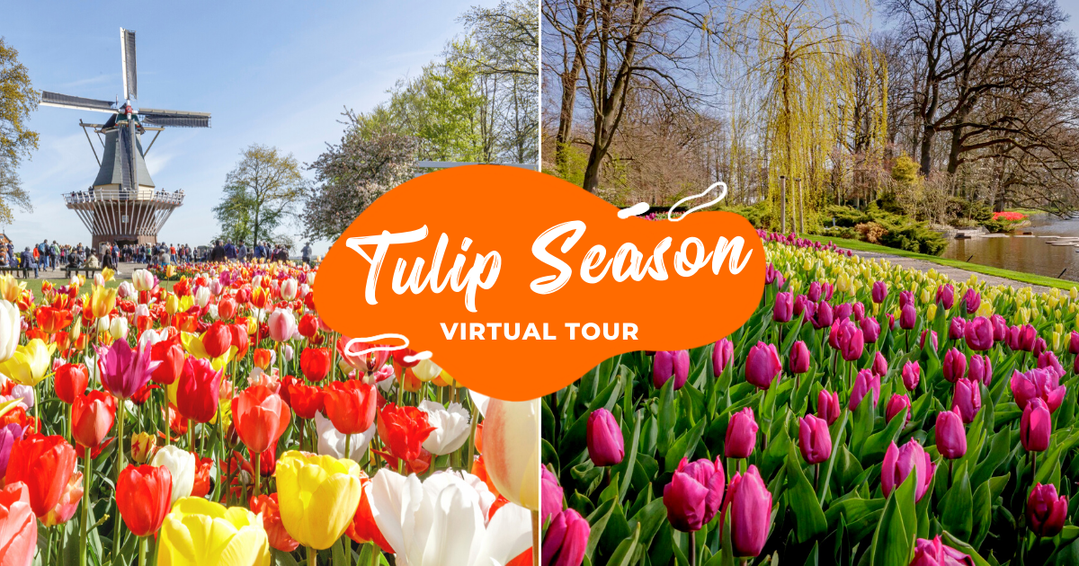 Amsterdam Tulip Season: Virtual Tour To See What You Have Been Missing Out