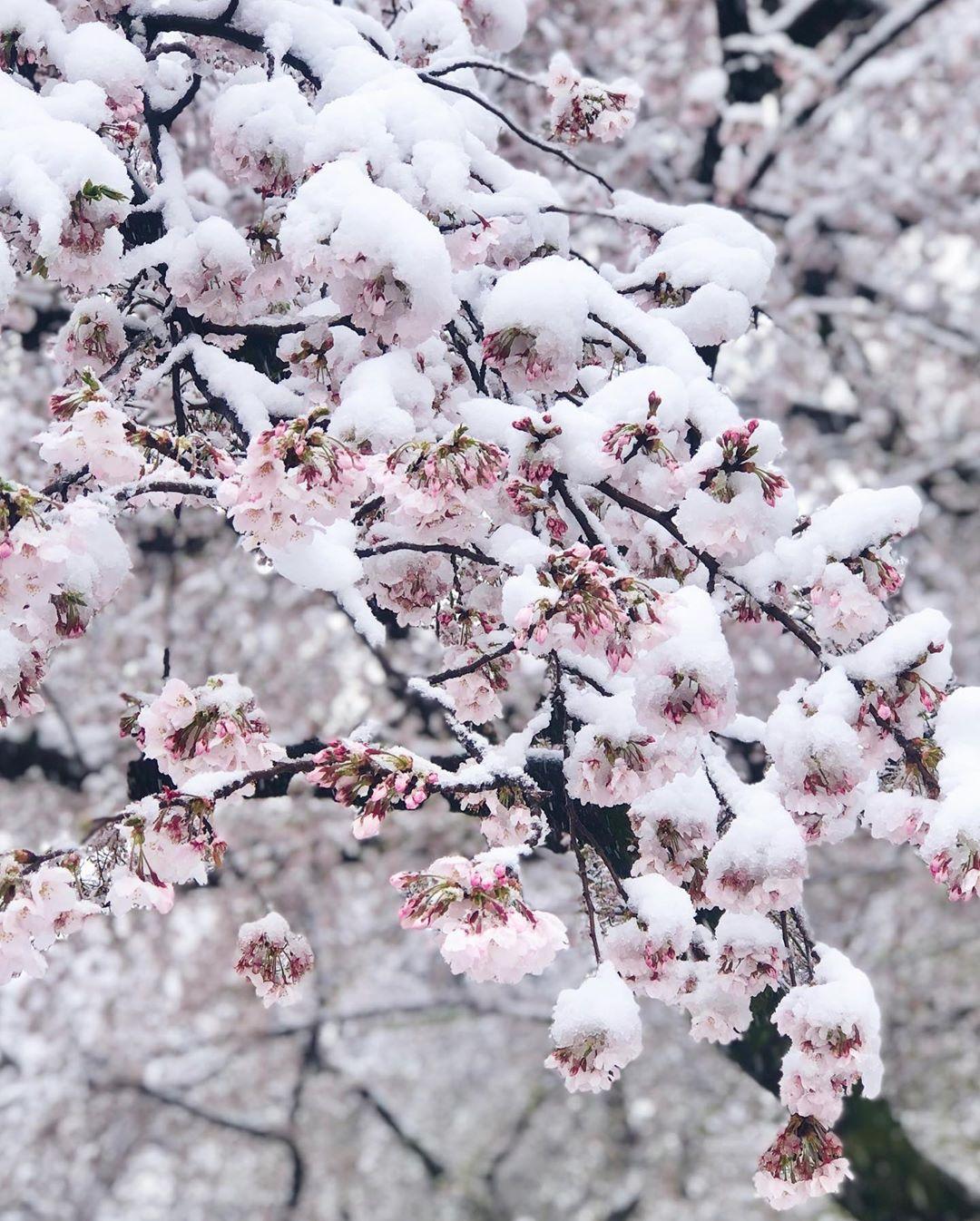 Cherry Blossom in Snow Tokyo 5