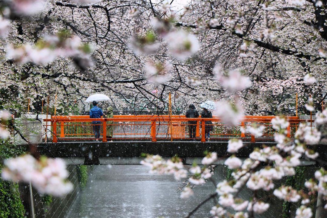 Tokyo Cherry Blossom Snow 2