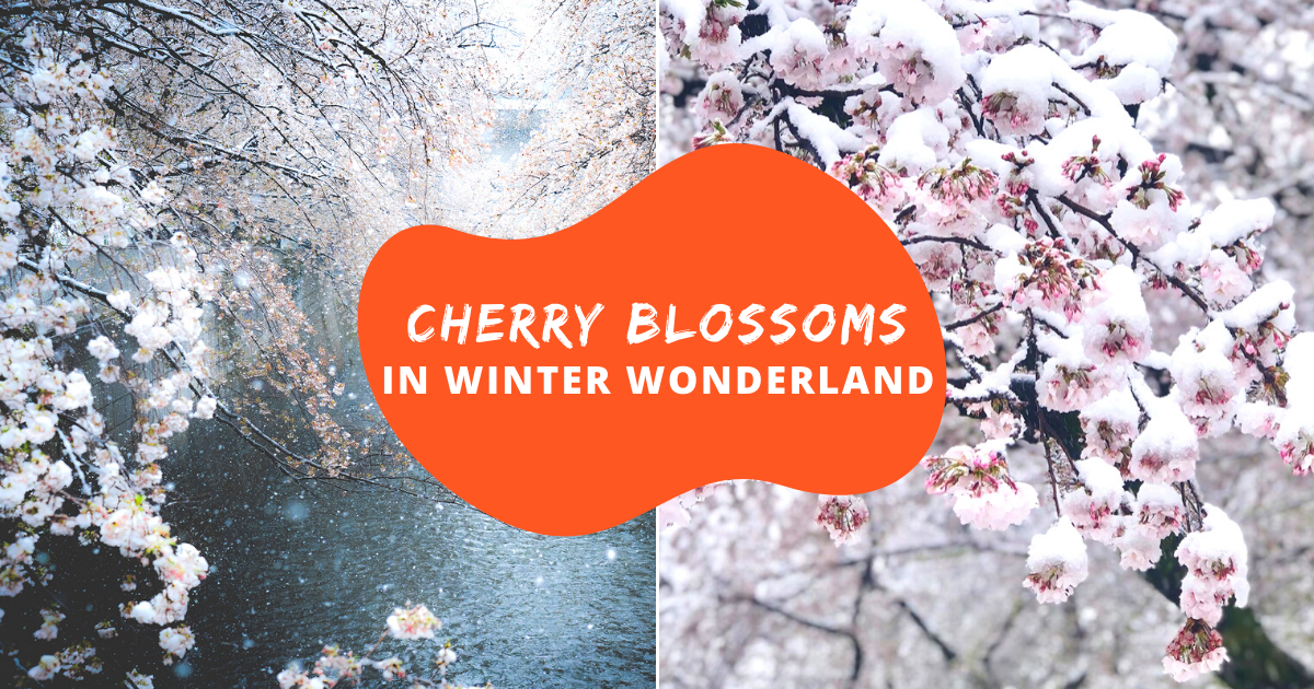 Cherry Blossoms in Winter Wonderland Cover