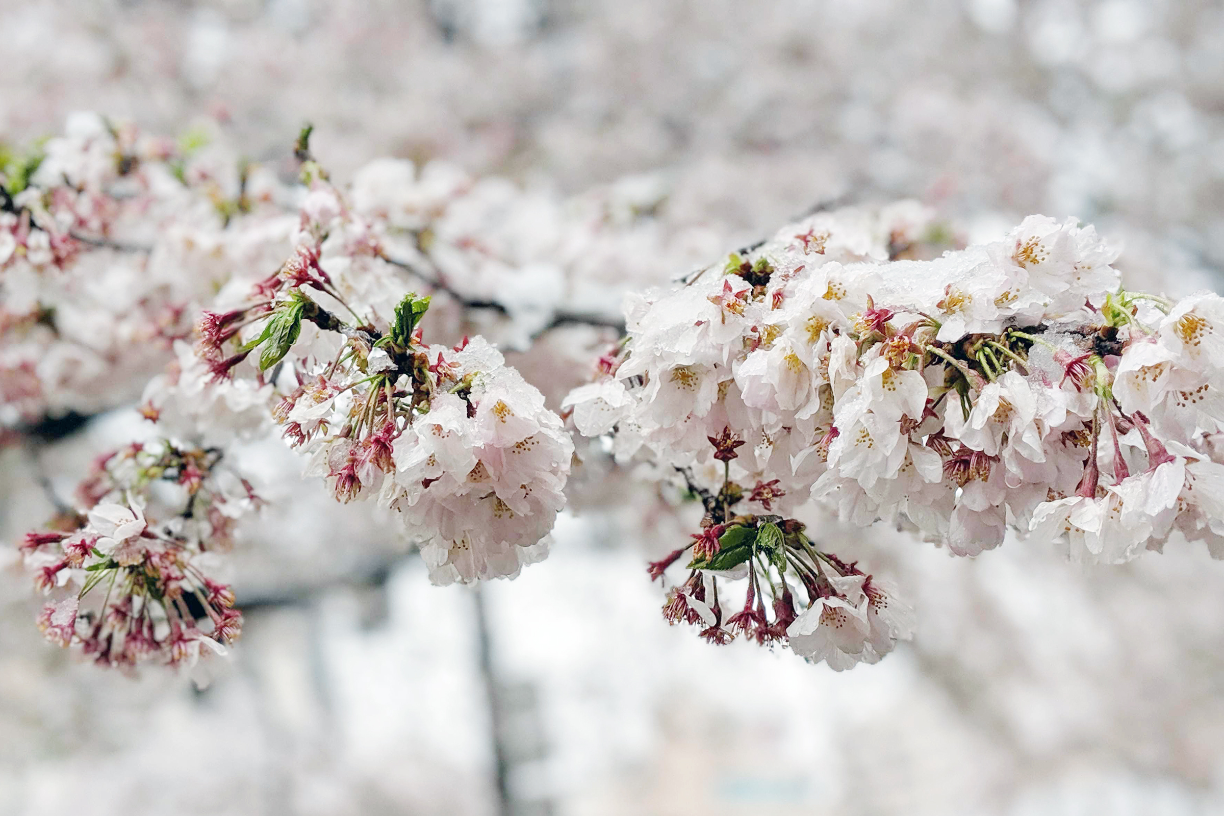 Cherry Blossom covered in Snow Tokyo