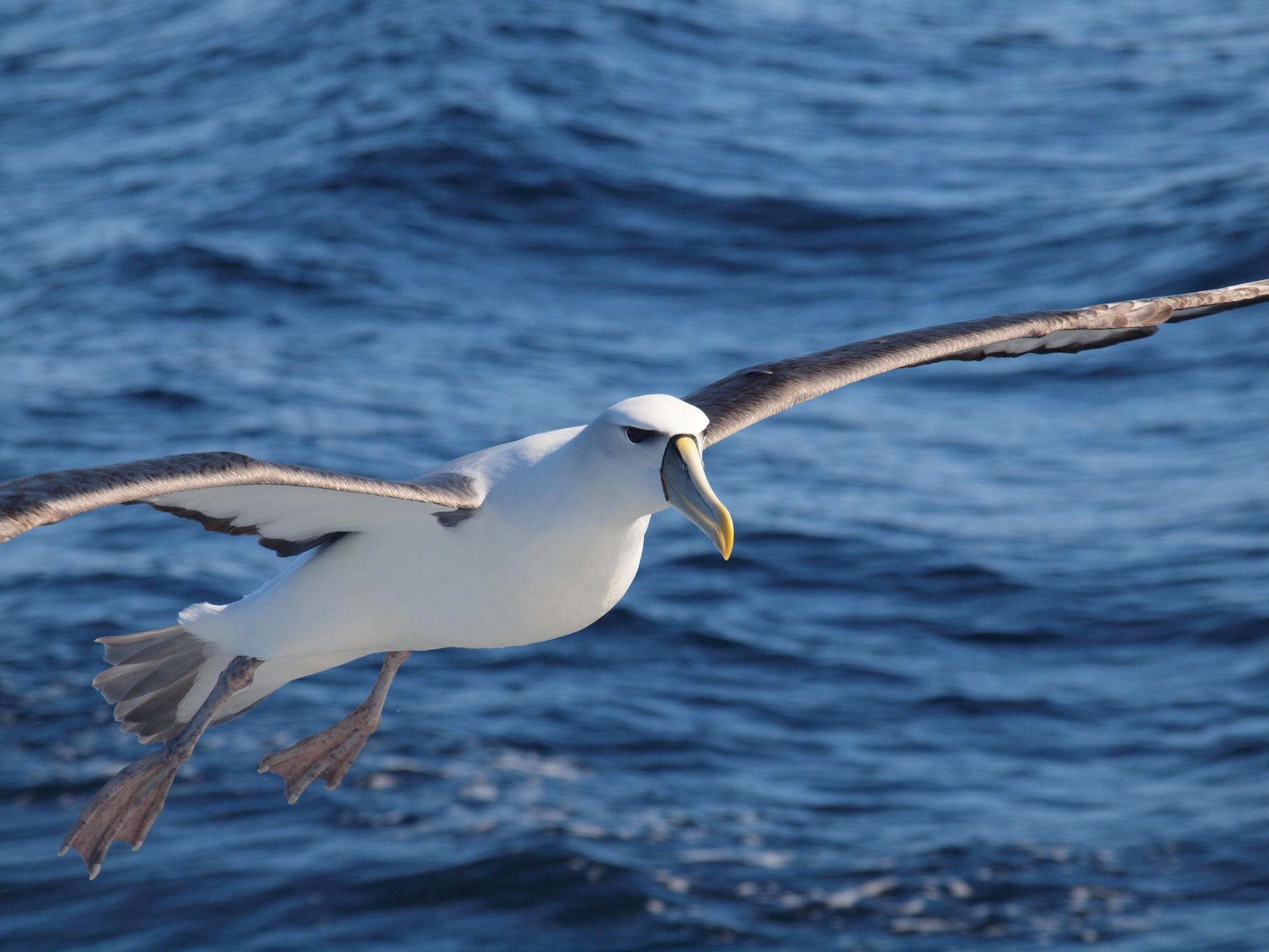 Kaikōura Albatross Encounter