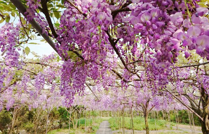 紫藤花咖啡園二店花景