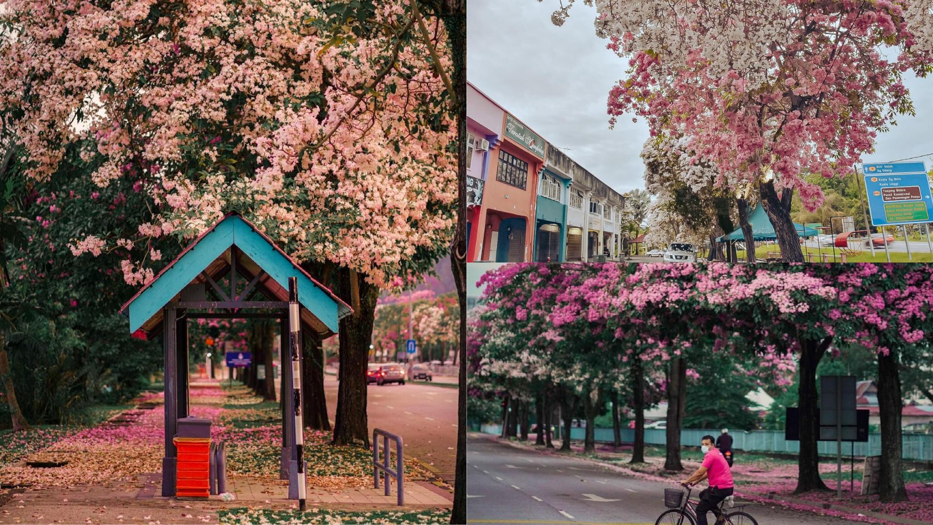18 Dreamy Spots To Find Sakura Trees In Full Bloom In Kl Penang Johor More Klook Travel Blog