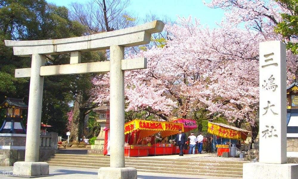 cherry blossom trees in mishima taisha shrine