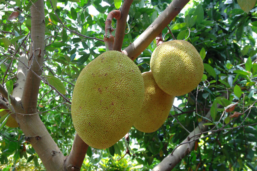 jackfruits hanging on the tree