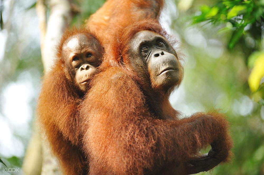 mother and child orangutan in sarawak semenggoh wildlife centre
