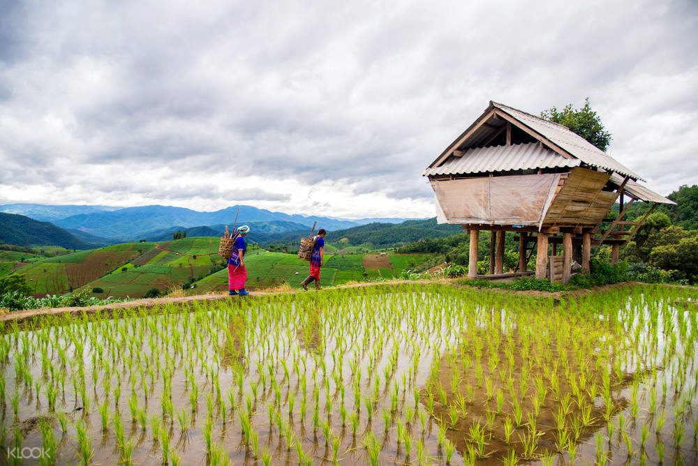 two persons walking alongside a rice paddy