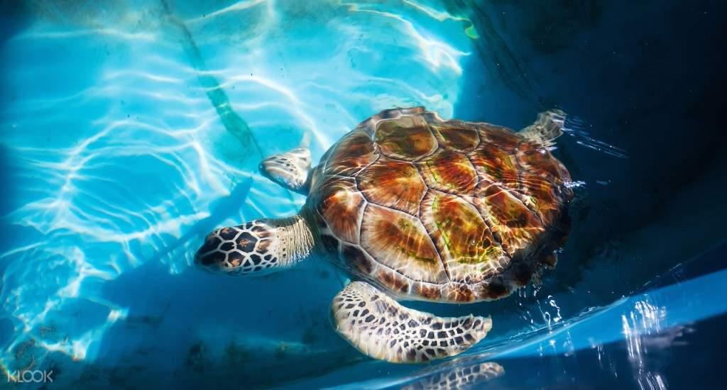 巴勒皮蒂耶Kosgoda的海龜孵化場