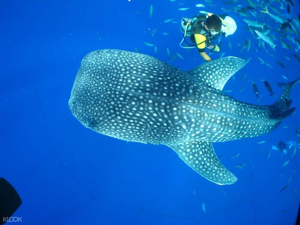 冲绳潜水与鲸鲨同游