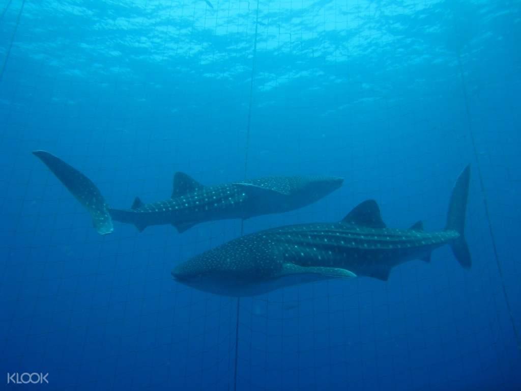 Swim with Whale Sharks in Okinawa - Klook