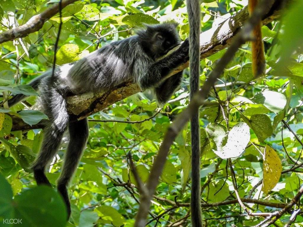 silver leaf monkeyt on branch