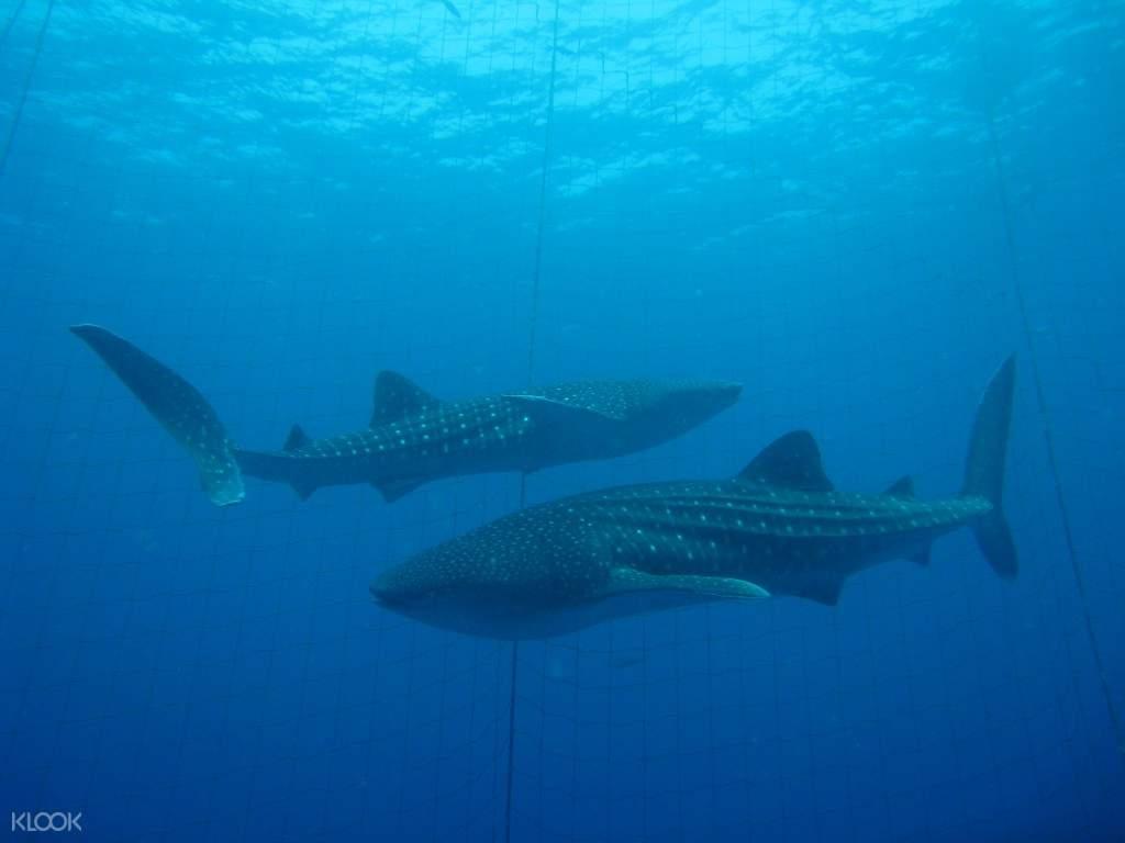 Okinawa whale sharks