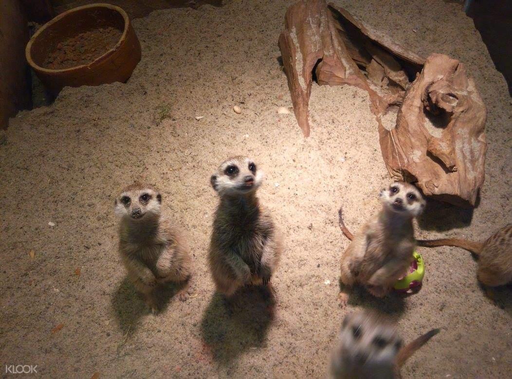 meerkats kl tower mini zoo