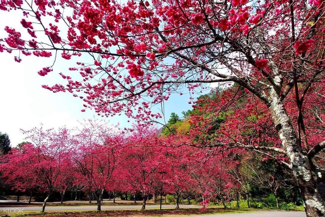 讓自己沉浸在這一整片的粉紅櫻花道,享受遠離城市喧叫後的寧靜時刻