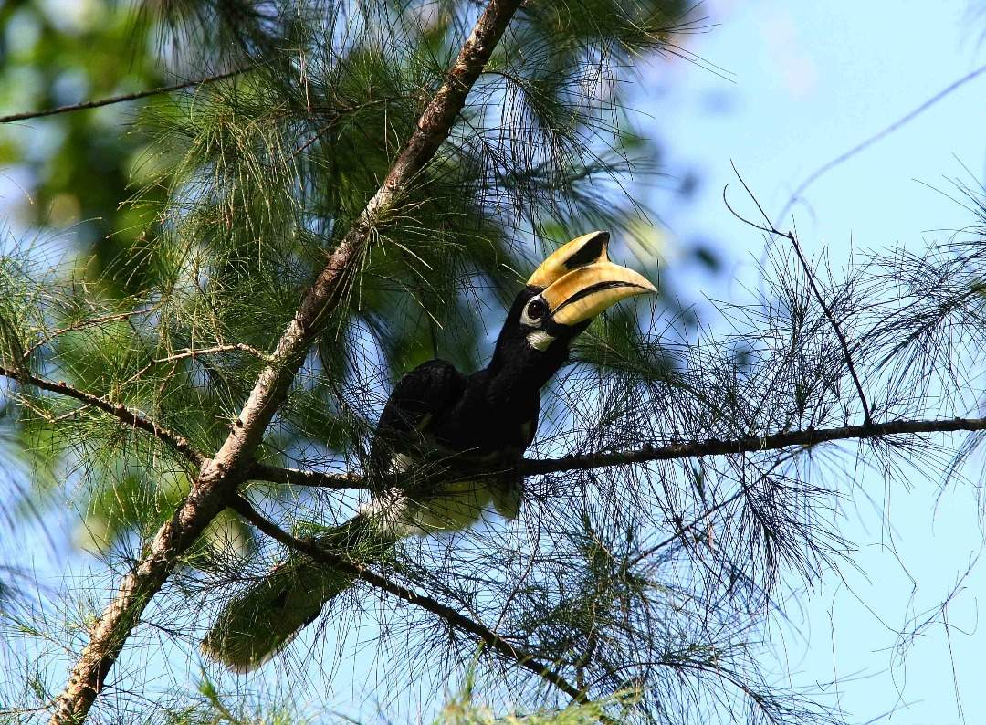 great indian hornbill Royal Belum State Park