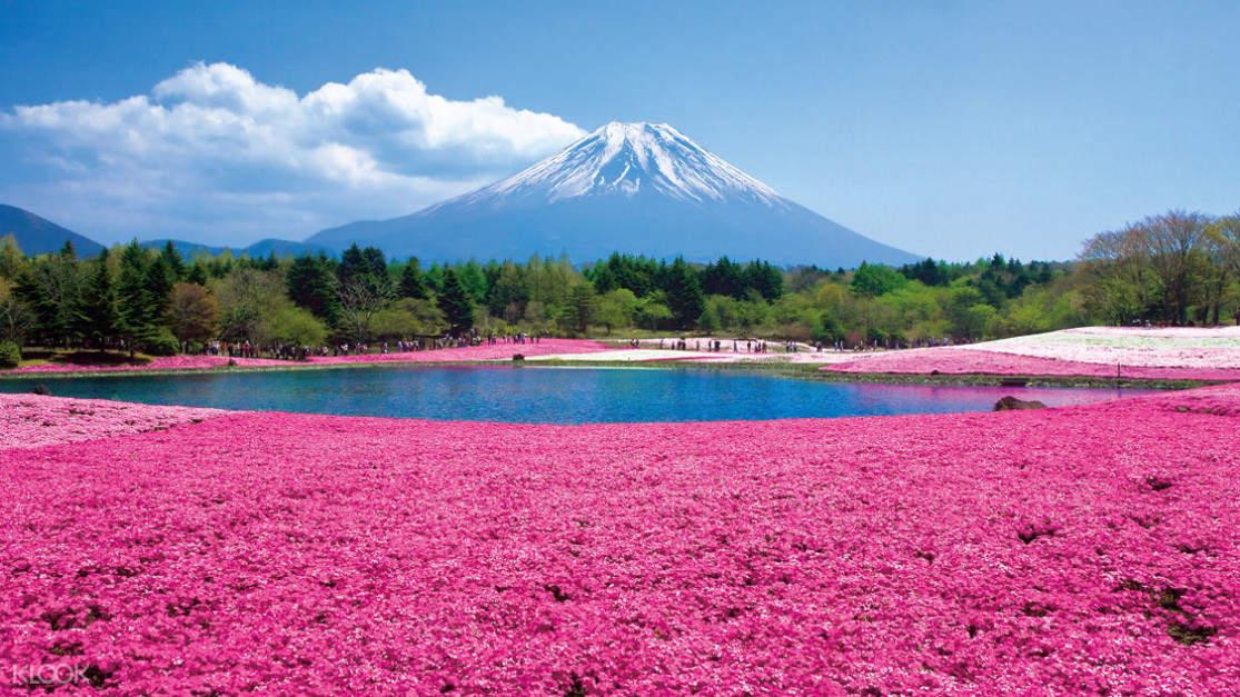 field of shibazakura near mt fuji