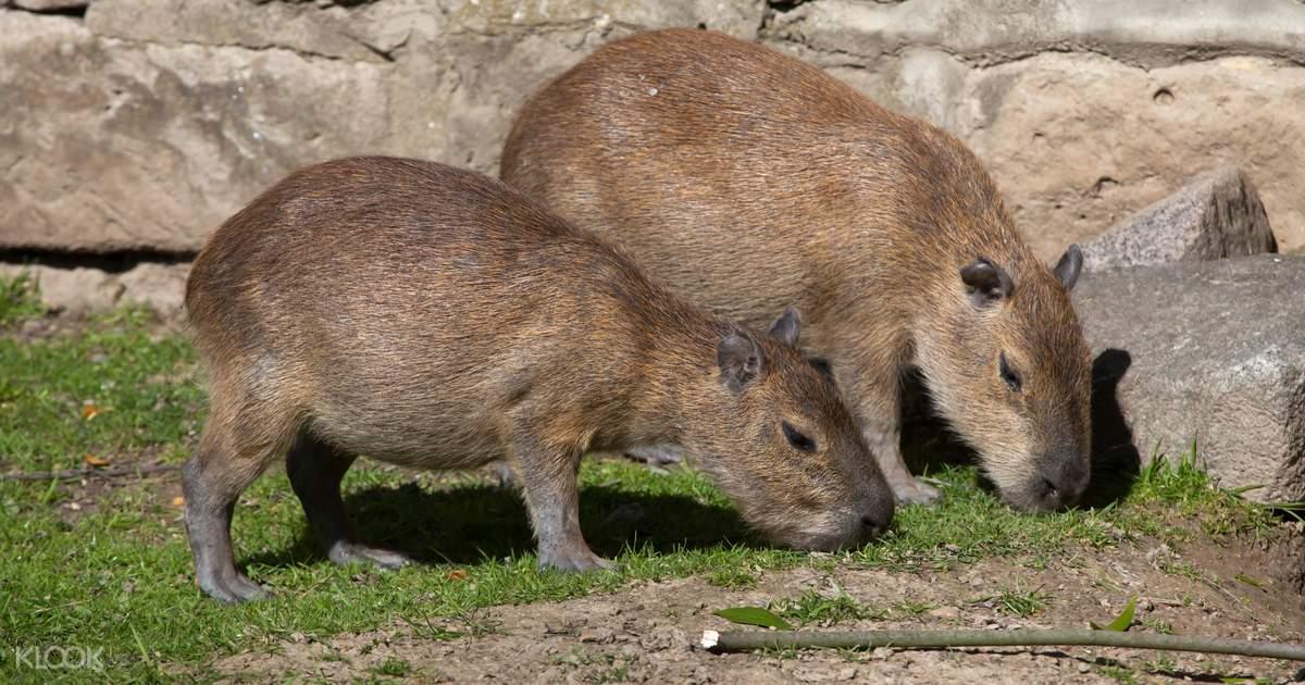 110+ neo park okinawa klook capybara canada south