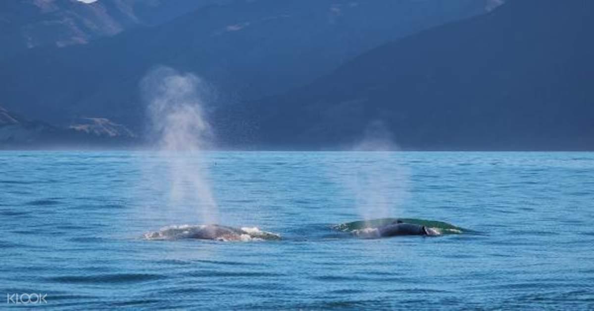 Whale Watch Kaikoura from Christchurch, New Zealand - Klook