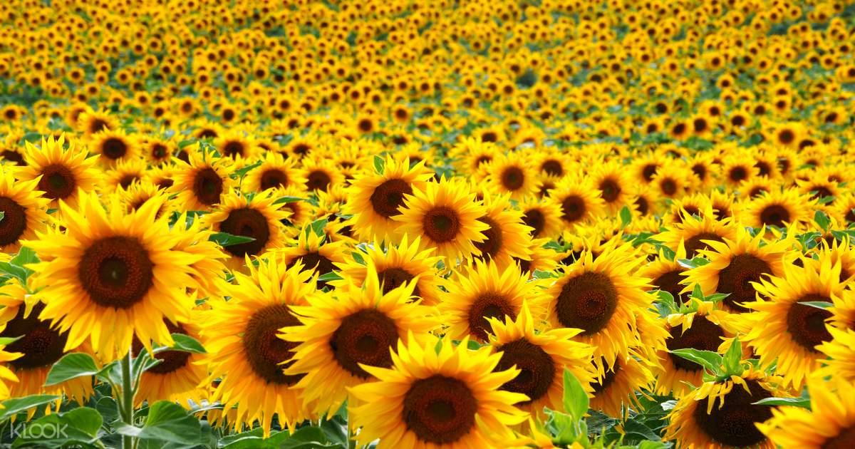 ad6209369242a0 Guangzhou Sunflower Garden - Klook