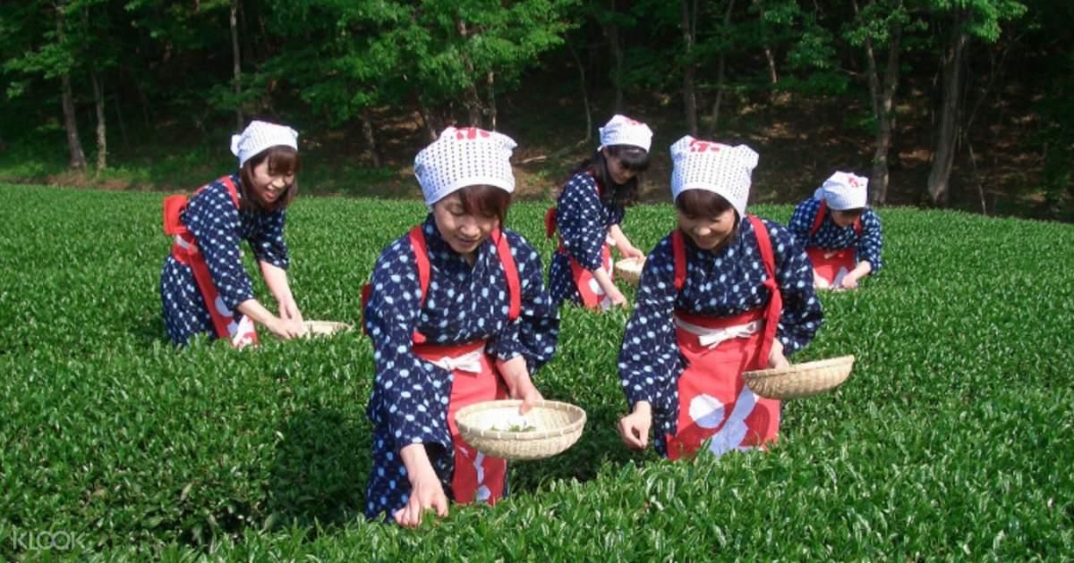 Tea Picking, Suruga Bay Cruise, Numazu & All-You-Can-Eat
