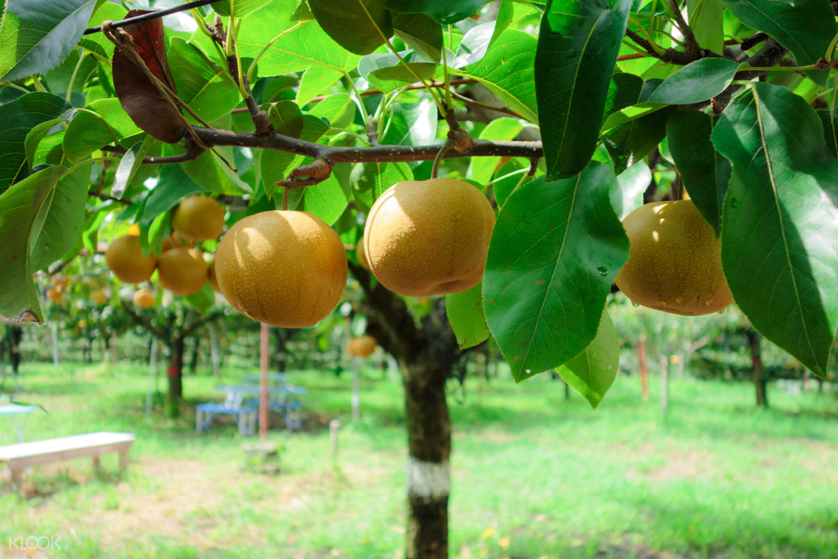国营常陆海滨公园秋季水果采摘