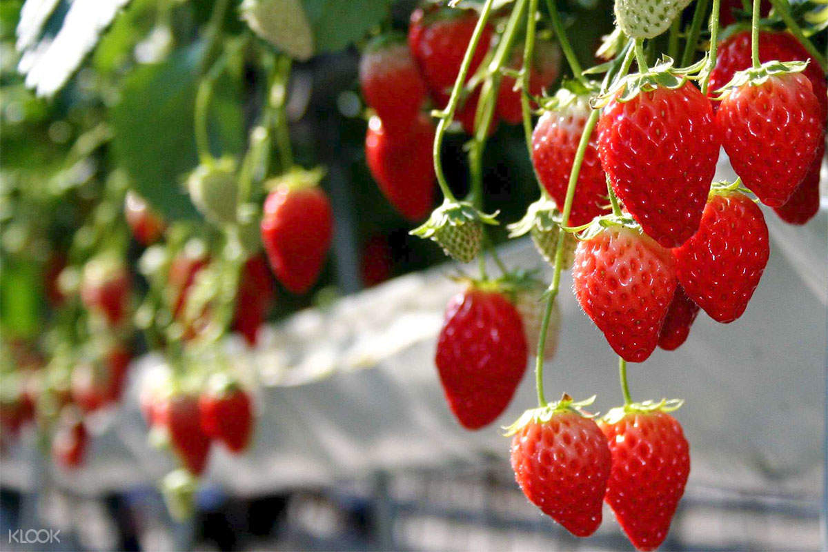 izunokuni strawberry picking
