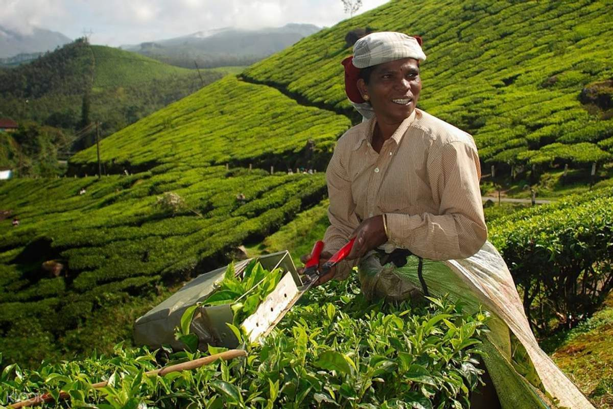 蒙纳茶叶种植园