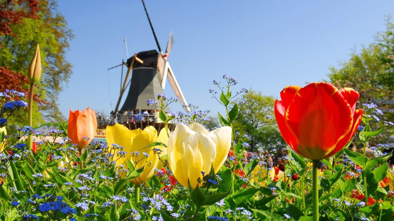 tulips against a windmill