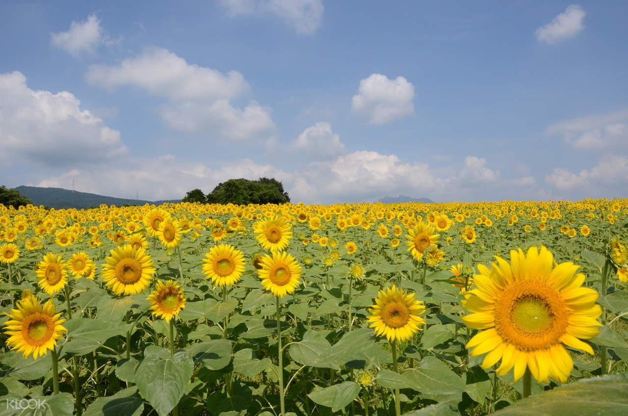 nyu lake sunflower field