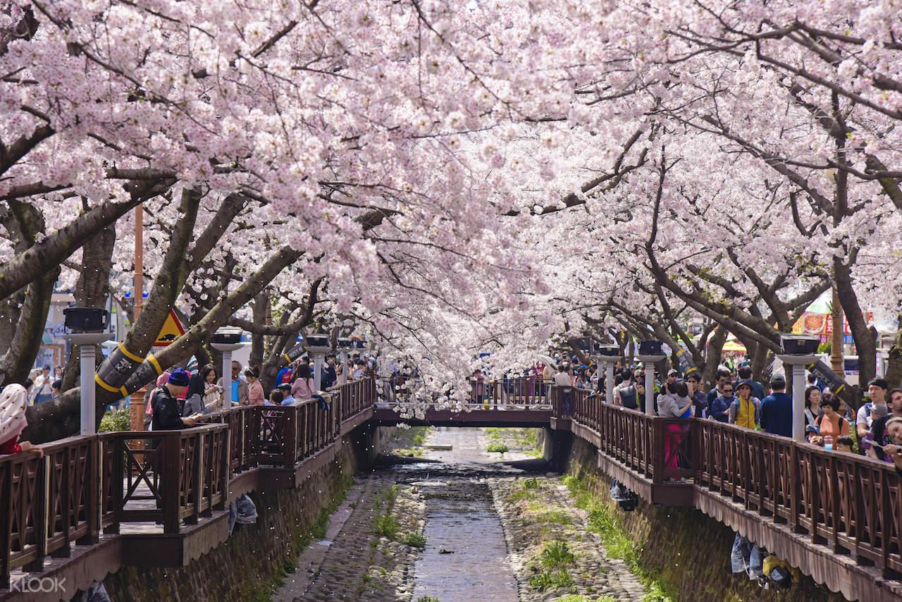 Cherry blossom Seoul