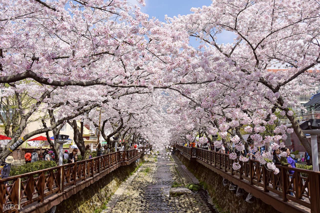 ทัวร์เทศกาลชมดอกซากุระบานปีที่เมืองจินเฮจากปูซาน โดย KTOURSTORY