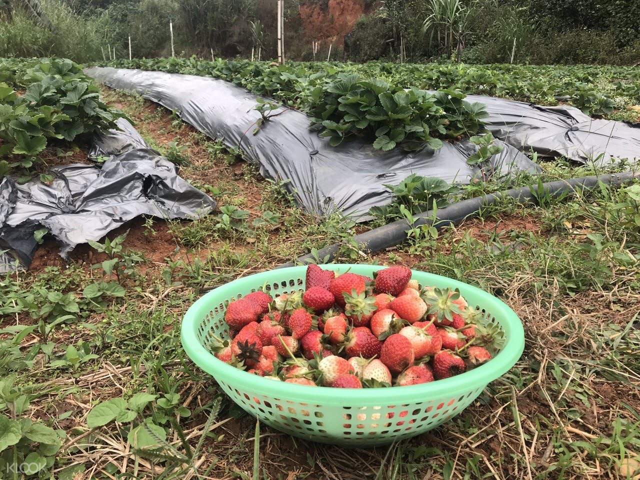 Tham quan nông trại và thưởng thức những trái dâu tươi mọng nước do tự tay bạn hái