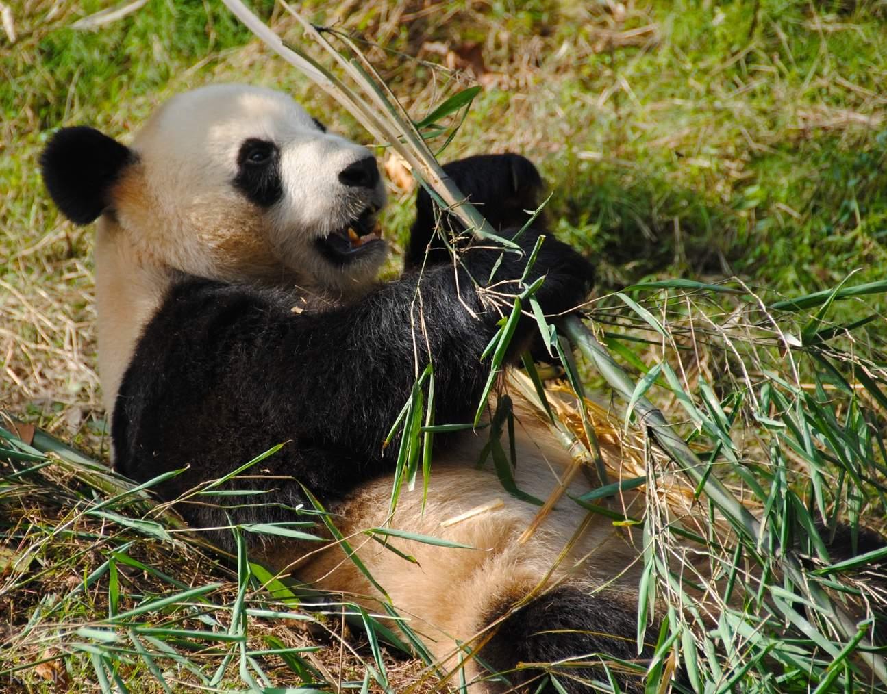 都江堰大熊猫保育基地,熊猫饲养员体验,熊猫饲养员一日体验