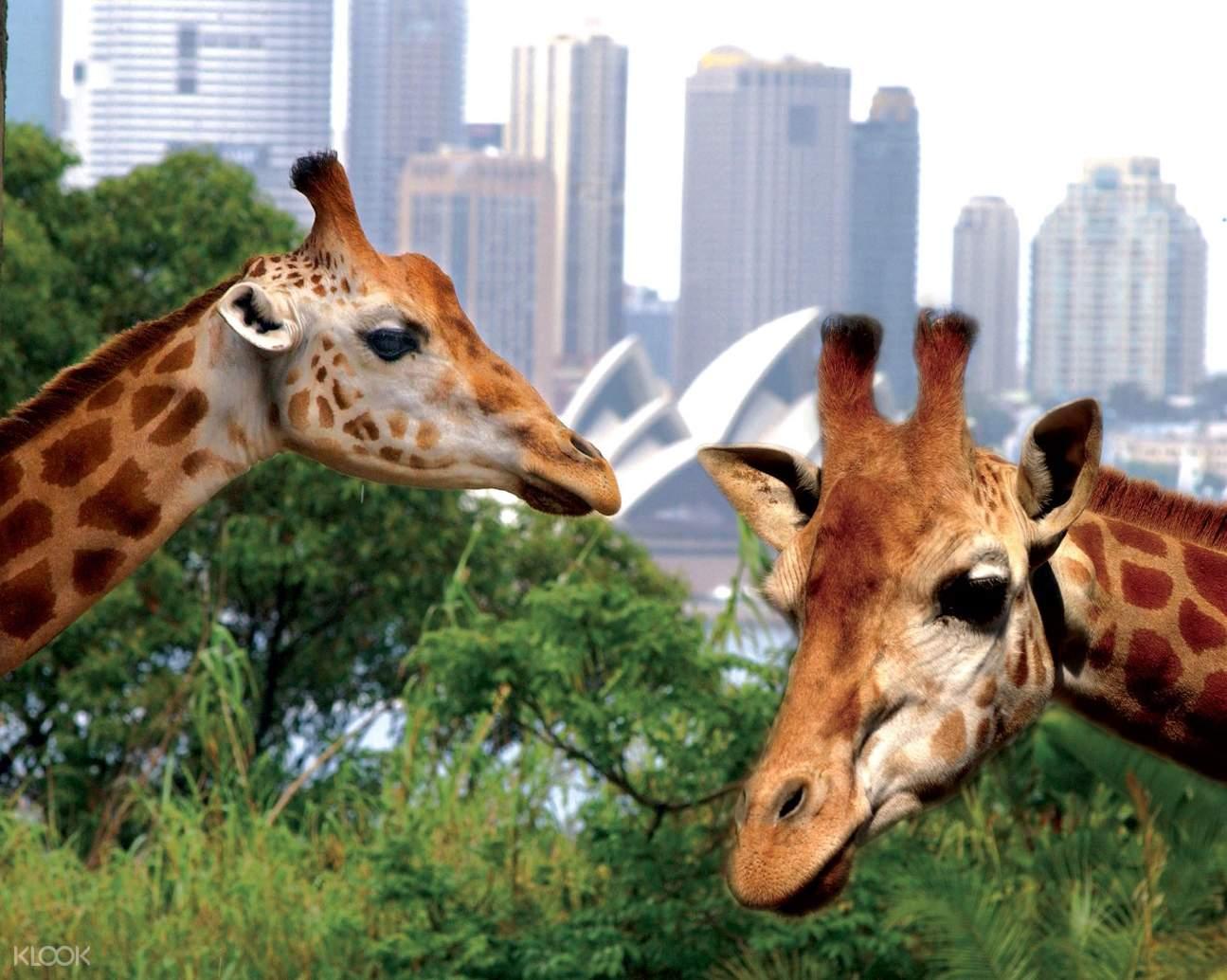 塔龍加動物園交通套票