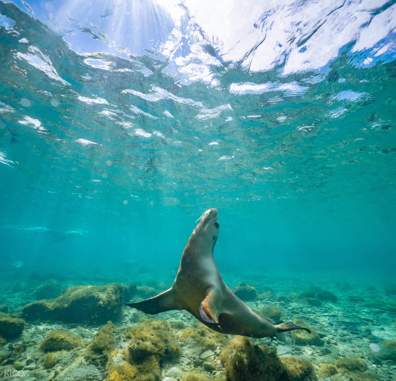 port lincoln sea lion