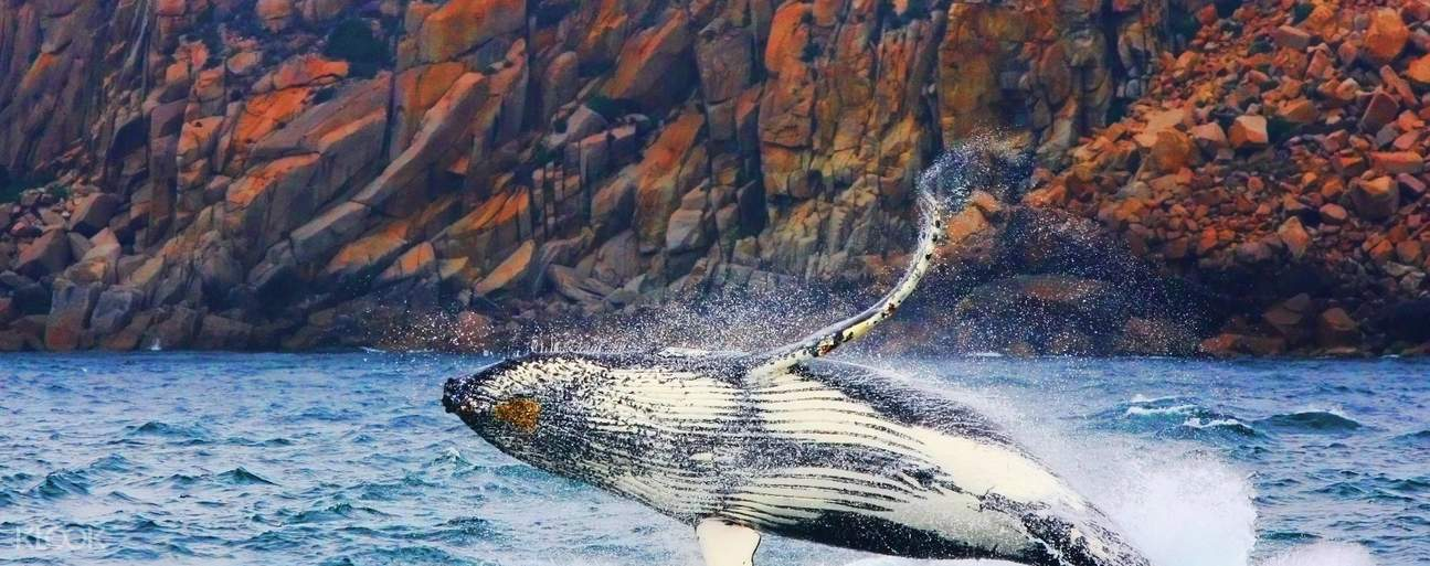 Spot whale play and jump in the waves next to your boat on its migration season