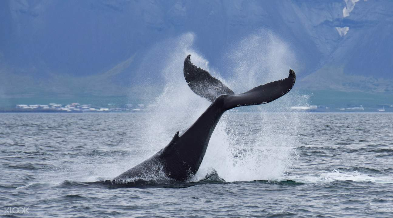 冰島觀鯨船遊