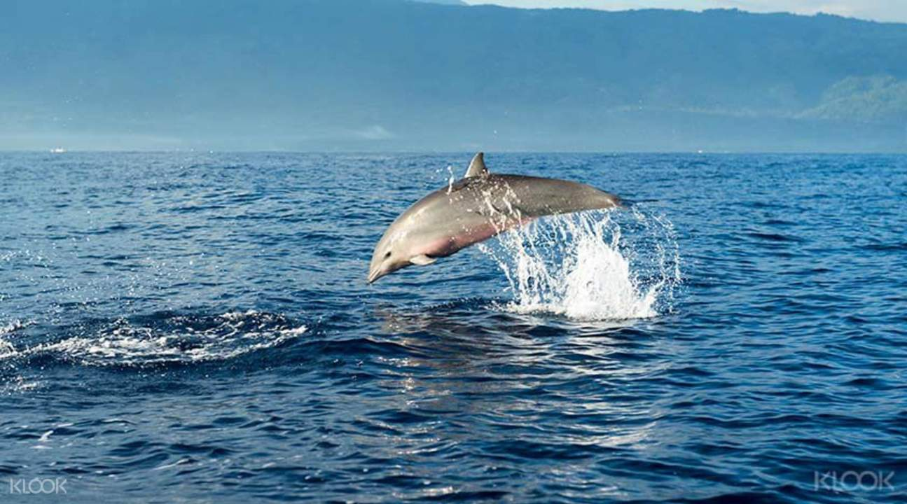 Swimming with Dolphins Bali